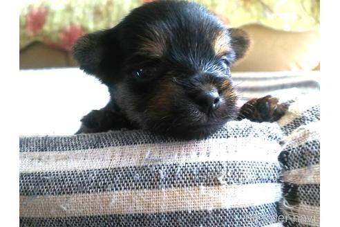ヨークシャーテリアの子犬(ID:1280011002)の1枚目の写真/更新日:2021-08-03