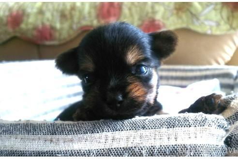 ヨークシャーテリアの子犬(ID:1280011002)の2枚目の写真/更新日:2021-08-03