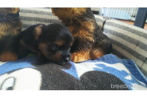 ヨークシャーテリアの子犬(ID:1280011002)の3枚目の写真/更新日:2021-08-03