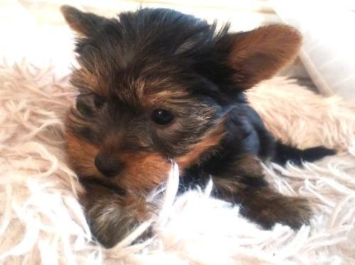 ヨークシャーテリアの子犬(ID:1280011004)の1枚目の写真/更新日:2021-08-03