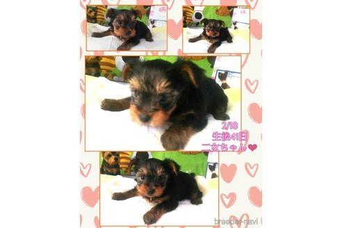 ヨークシャーテリアの子犬(ID:1280011004)の2枚目の写真/更新日:2021-08-03
