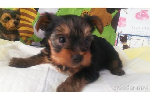 ヨークシャーテリアの子犬(ID:1280011004)の3枚目の写真/更新日:2021-08-03