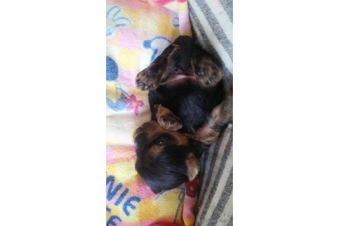 ヨークシャーテリアの子犬(ID:1280011006)の2枚目の写真/更新日:2021-08-03