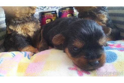 ヨークシャーテリアの子犬(ID:1280011006)の3枚目の写真/更新日:2021-08-03