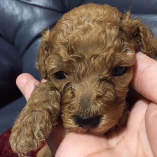 トイプードルの子犬(ID:1280211003)の1枚目の写真/更新日:2020-07-09