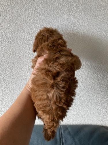 トイプードルの子犬(ID:1280211009)の3枚目の写真/更新日:2021-02-04