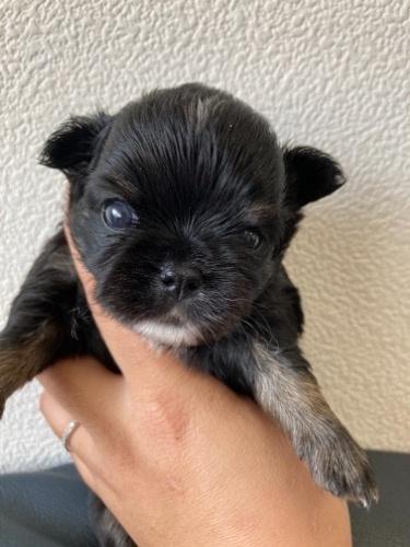 チワワ(ロング)の子犬(ID:1280211010)の1枚目の写真/更新日:2021-03-11