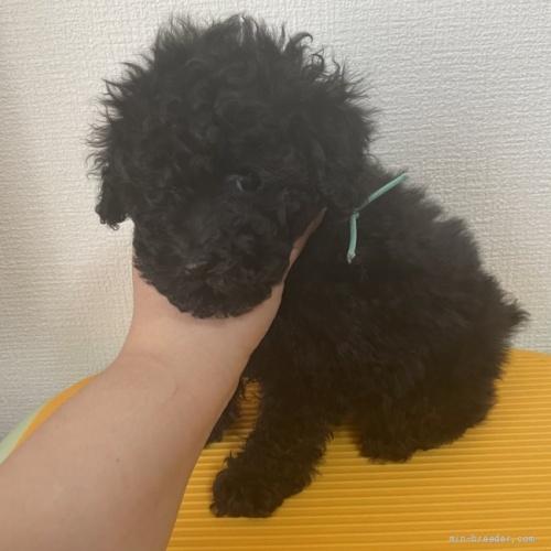 トイプードルの子犬(ID:1280511001)の2枚目の写真/更新日:2020-04-01