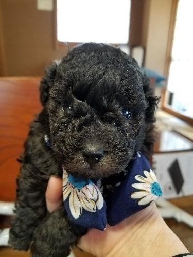トイプードルの子犬(ID:1280511002)の1枚目の写真/更新日:2020-03-10