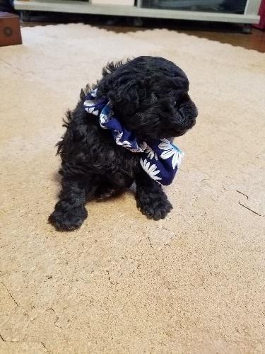 トイプードルの子犬(ID:1280511002)の2枚目の写真/更新日:2020-03-10
