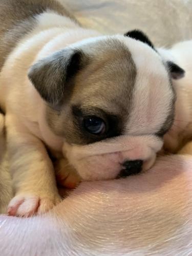 フレンチブルドッグの子犬(ID:1280811009)の1枚目の写真/更新日:2021-01-25