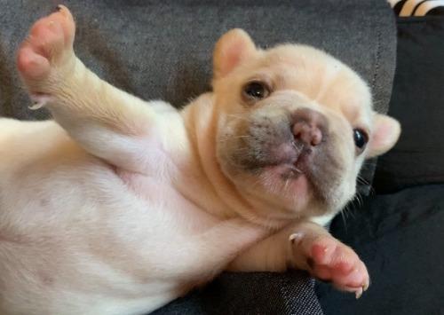 フレンチブルドッグの子犬(ID:1280811013)の4枚目の写真/更新日:2021-07-10