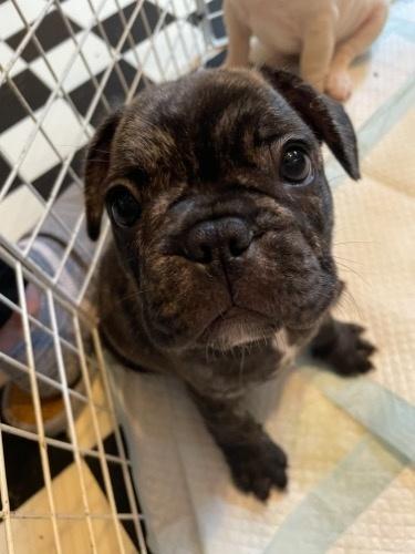フレンチブルドッグの子犬(ID:1280811014)の2枚目の写真/更新日:2021-08-01