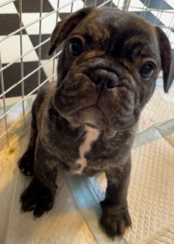 フレンチブルドッグの子犬(ID:1280811014)の4枚目の写真/更新日:2021-08-01