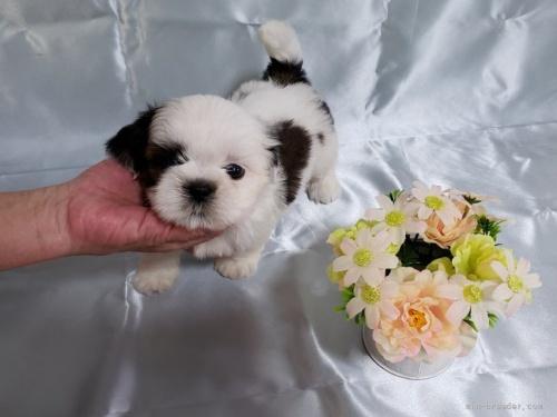 シーズーの子犬(ID:1281311001)の1枚目の写真/更新日:2020-06-19
