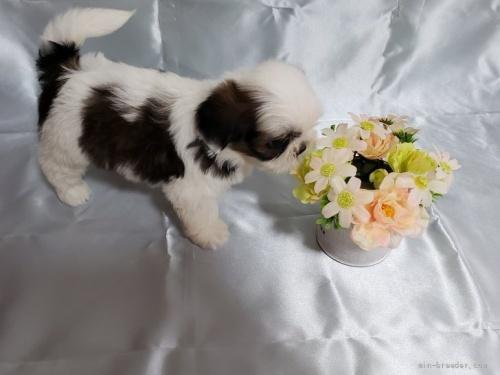 シーズーの子犬(ID:1281311001)の2枚目の写真/更新日:2020-06-19