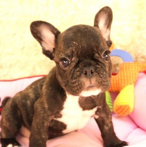 フレンチブルドッグの子犬(ID:1281711001)の1枚目の写真/更新日:2020-08-03