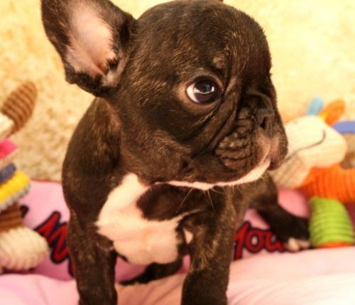 フレンチブルドッグの子犬(ID:1281711001)の2枚目の写真/更新日:2020-08-03
