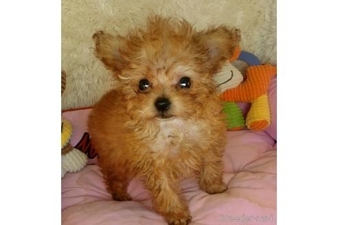 トイプードルの子犬(ID:1281711002)の1枚目の写真/更新日:2020-08-03