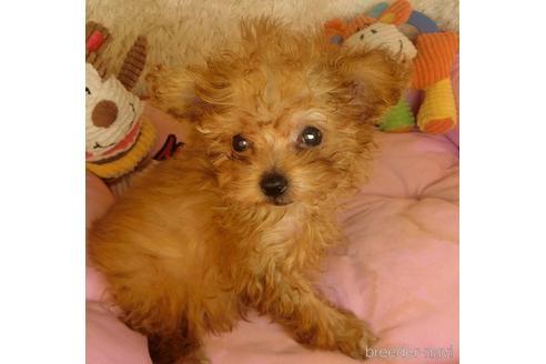 トイプードルの子犬(ID:1281711002)の2枚目の写真/更新日:2020-10-26