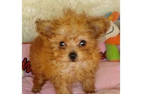 トイプードルの子犬(ID:1281711002)の3枚目の写真/更新日:2020-10-26