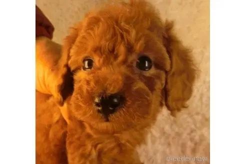 トイプードルの子犬(ID:1281711003)の1枚目の写真/更新日:2020-10-20