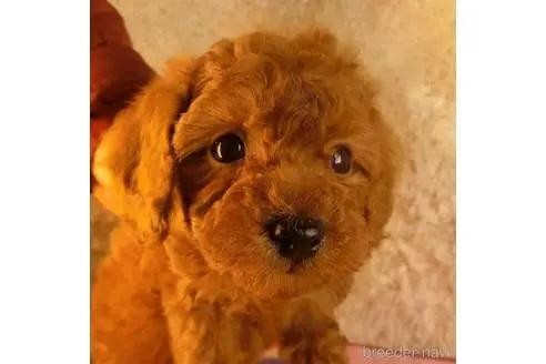 トイプードルの子犬(ID:1281711003)の2枚目の写真/更新日:2020-10-20