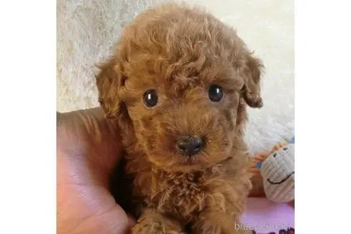 トイプードルの子犬(ID:1281711004)の1枚目の写真/更新日:2020-10-26