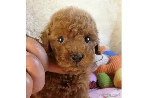 トイプードルの子犬(ID:1281711004)の2枚目の写真/更新日:2020-10-26