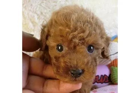 トイプードルの子犬(ID:1281711004)の3枚目の写真/更新日:2020-10-26