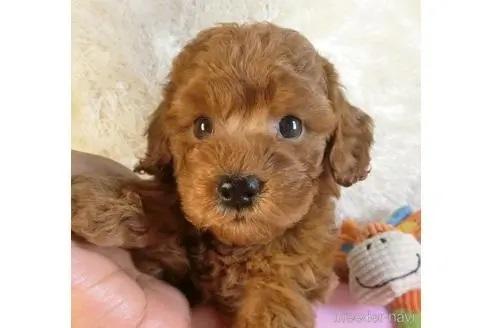 トイプードルの子犬(ID:1281711005)の1枚目の写真/更新日:2020-10-26
