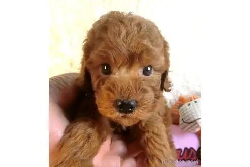 トイプードルの子犬(ID:1281711005)の2枚目の写真/更新日:2020-10-26