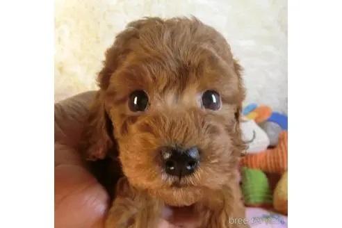 トイプードルの子犬(ID:1281711005)の3枚目の写真/更新日:2020-10-26