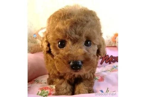 トイプードルの子犬(ID:1281711006)の1枚目の写真/更新日:2020-10-26