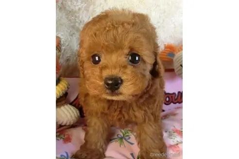トイプードルの子犬(ID:1281711006)の2枚目の写真/更新日:2020-10-26