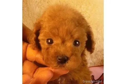 トイプードルの子犬(ID:1281711007)の1枚目の写真/更新日:2021-05-01