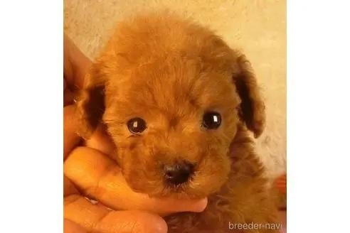 トイプードルの子犬(ID:1281711007)の2枚目の写真/更新日:2021-05-01
