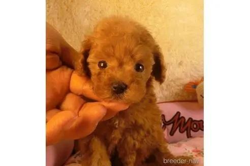 トイプードルの子犬(ID:1281711007)の3枚目の写真/更新日:2021-05-01