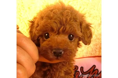 トイプードルの子犬(ID:1281711008)の1枚目の写真/更新日:2021-05-05