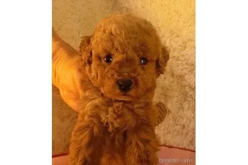 トイプードルの子犬(ID:1281711008)の2枚目の写真/更新日:2021-05-05