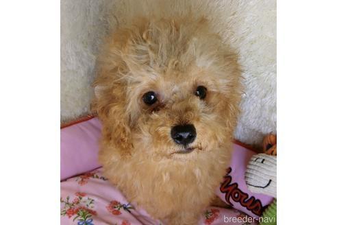 トイプードルの子犬(ID:1281711009)の2枚目の写真/更新日:2021-09-28