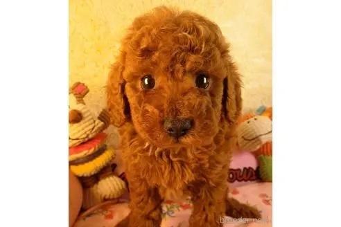 トイプードルの子犬(ID:1281711010)の1枚目の写真/更新日:2021-09-28
