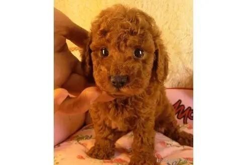 トイプードルの子犬(ID:1281711010)の2枚目の写真/更新日:2021-09-28