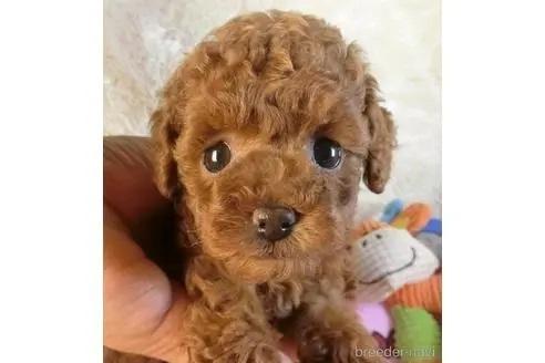 トイプードルの子犬(ID:1281711011)の1枚目の写真/更新日:2021-04-19