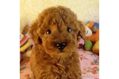 トイプードルの子犬(ID:1281711012)の1枚目の写真/更新日:2021-07-31