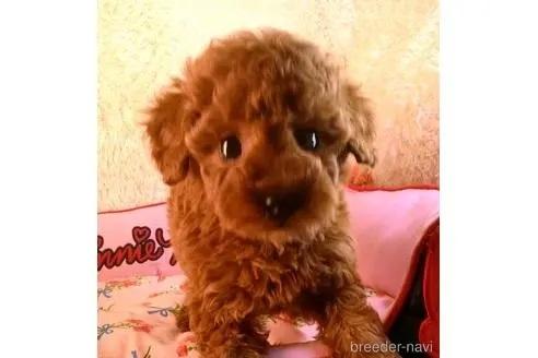 トイプードルの子犬(ID:1281711012)の2枚目の写真/更新日:2021-07-31