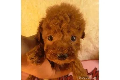 トイプードルの子犬(ID:1281711015)の1枚目の写真/更新日:2021-07-02