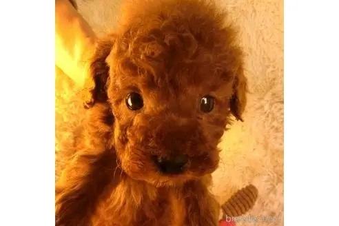 トイプードルの子犬(ID:1281711015)の2枚目の写真/更新日:2021-07-02