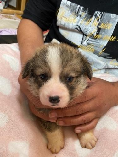 ウェルシュ・コーギー・ペンブロークの子犬(ID:1282111001)の2枚目の写真/更新日:2020-11-27