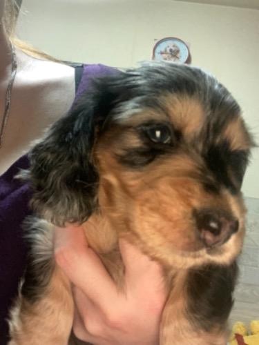 ミニチュアダックスフンド(ロング)の子犬(ID:1282111002)の2枚目の写真/更新日:2021-03-21